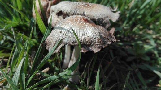 First mushroom a spring