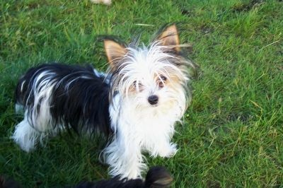 Yorkie Babes | Yorkshire Terrier Puppies For Sale | Utah Yorkie Breeder
