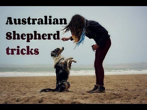 60 dog tricks by Australian Shepherd Akim | #ʀᴏᴄᴋɪɴɢᴠᴀᴜssɪᴇs