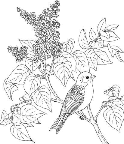 Camachuelo purpúreo y Lilas, ave y flor de New Hampshire Dibujo para colorear. Categorías: Pinzones. Páginas para imprimir y colorear gratis de una gran variedad de temas, que puedes imprimir y colorear.