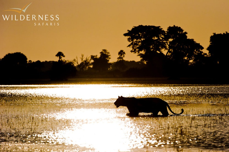 Jao Camp - The resident prides have adapted to an aquatic lifestyle… #Safari #Africa #Botswana #WildernessSafaris
