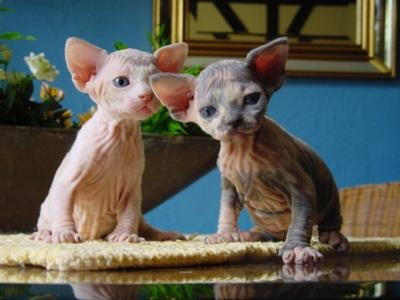 Oh my God, I love these little kittens! Apparently they are Ukrainian Levkoys, although they don't have the same folded ears... I think they might be sphynx instead