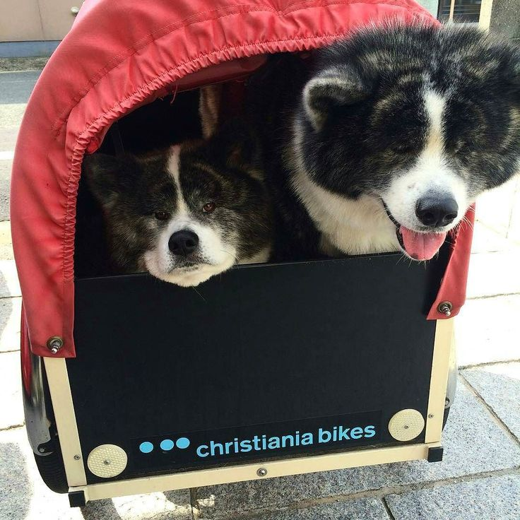 A pair of Akita can easily reach 100kg. One needs a sturdy cargobike. #together By @anotherfacexyz