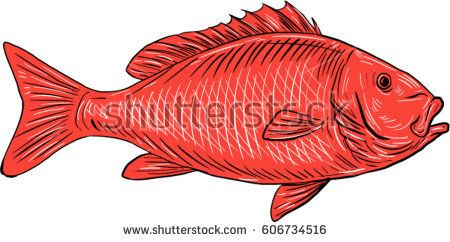 Drawing sketch style illustration of an Australasian snapper, silver seabream, Pagrus auratus, a species of porgie swimming viewed from the side set on isolated white background.   #snapper #drawing #illustration