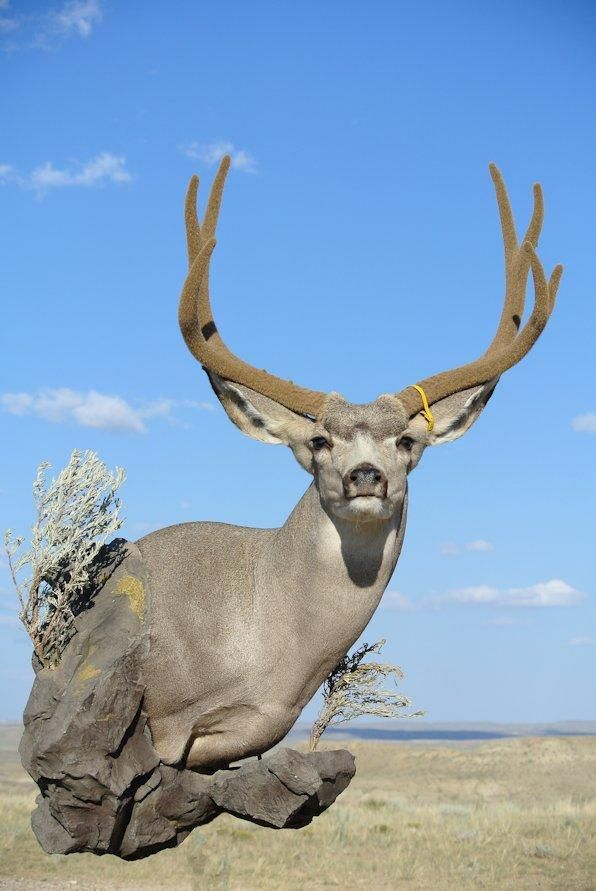 54 Best My Taxidermy Work Images On Pinterest Taxidermy