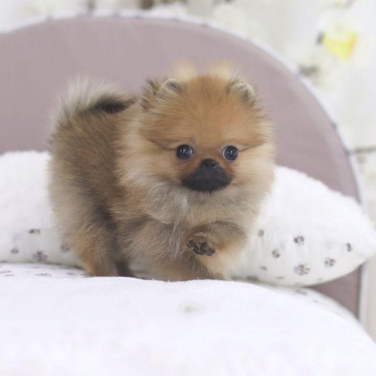 Cute Mini Teacup Pomeranian In 2020 Teacup Puppies Pomeranian