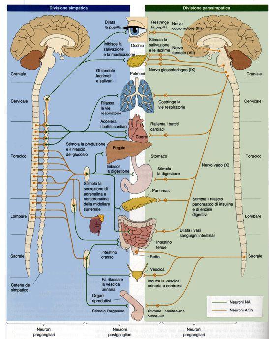 sistema nervoso orgaos