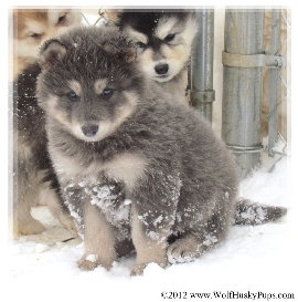 Wolf hybrid puppy! My dream is to have this dog