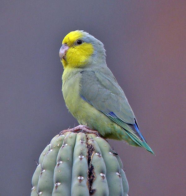 Yellow-faced Parrotlet (Forpus xanthops) / Желтолицый воробьиный попугайчик