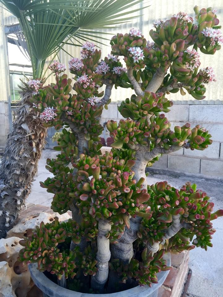 41 best images about crassula ovata jade tree on pinterest for Unusual small trees