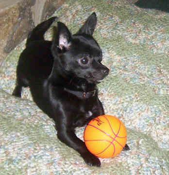 Black chihuahua that's good at basketball OMG how cute