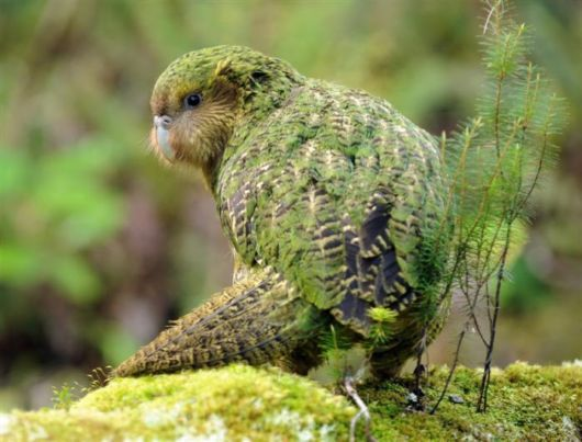 3. Kakapo | The kakapo, or the owl parrot, is one of the strangest and rarest nocturnal parrots in the world. The bird also does not fly, but happens to be one of the longest-living birds. These parrots are also very heavy and large, reaching a weight of about 7.7 pounds and a height of nearly about 24 inches. Kakapos are common in New Zealand, and they are known to be extremely smart animals, getting attached to people who are kind to it.