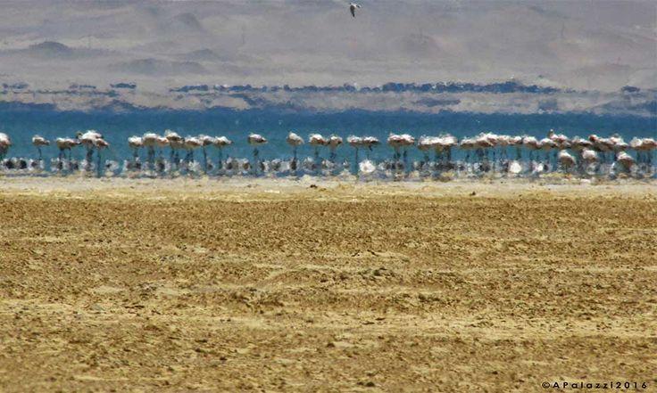 Flamingos - Reserva de Paracas Perù #ahevision #peru2016 www.ahevision.com
