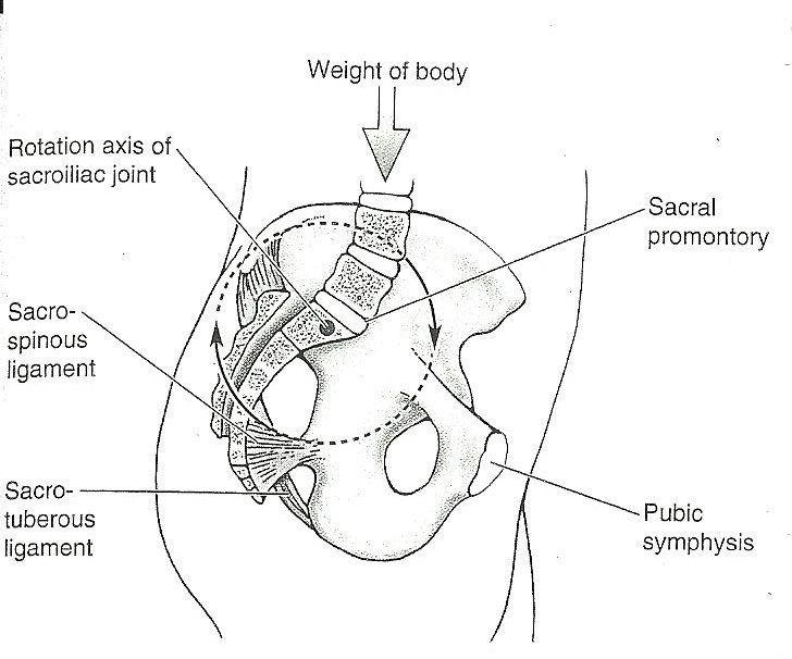 How tight muscles can tilt the pelvic forward or backward