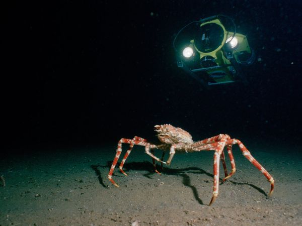 Giant crab. Can grow to 10 feet!Brini Sea, Giants Crabs, Giants Spiders, Beautiful Brini, Spiders Crabs, Ocean Blue, Underwater Beautiful, Animals Sea, Beautiful Creatures