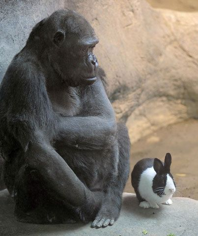The Erie Zoo's lowland gorilla Samantha, left, shares her space with Panda, a Dutch rabbit....heartwarming.