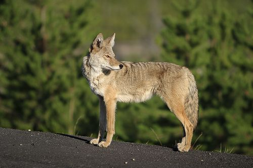 wikiHow to Keep Coyotes Away from Campsites or Homesteads -- via wikiHow.com