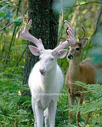Albino white tail deer - awsome sight
