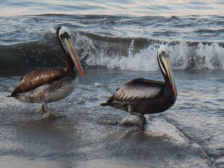 Pelicanos, Papudo, Chile by Roland Persson on 500px