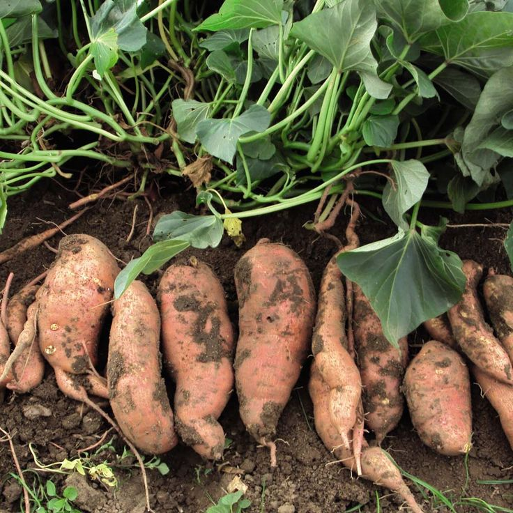 How to plant sweet potatoes (and the greens are edible and good for you, as well.)