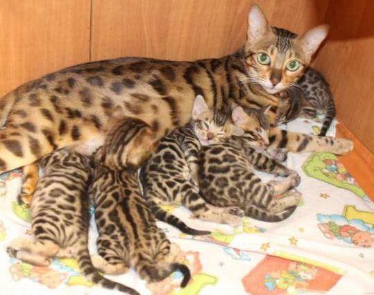 TOP 35 Bengal kittens (13)