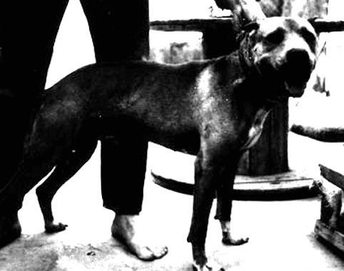 Interview with Dave Adams | Game Dog History | For the True Game Dog