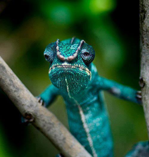 66 Best Images About Chameleons, Chameleon, Lizard, 150