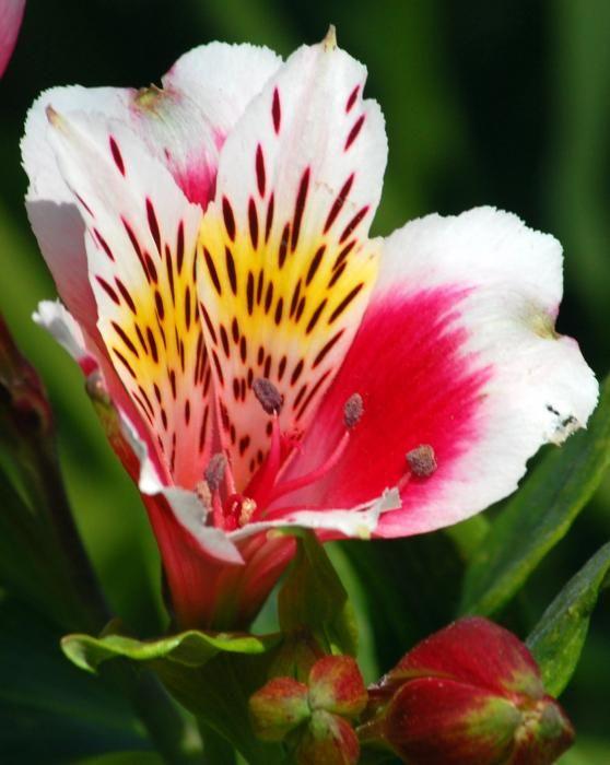 favorite flower!!  peruvian lily..