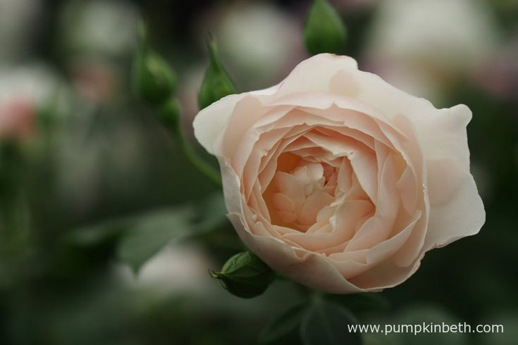 Rosa 'Desdemona' is a beautiful, new Rose from David Austin Roses.  This was my favourite of the new introductions for 2015 from David Austin Roses; I particularly enjoyed this Rose's myrrh scent, which is surprisingly powerful and fruity, with distinct notes of lemon.