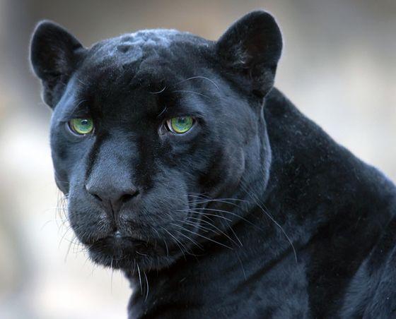 puma negro animal - Buscar con Google