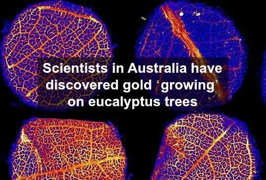 Minute traces of gold were found in the living tissue of eucalypts in two spots: near Kalgoorlie-Boulder in Western Australia and near Wudinna in South Australia. The gold was brought up from 30-50 metres below the ground by the roots of the trees in their search for water. While gold had been found on leaves before, finding the gold in living tissue is a first. It is hoped this finding could be an effective bio-prospecting tool and aid in the identification of prospective areas at depth.
