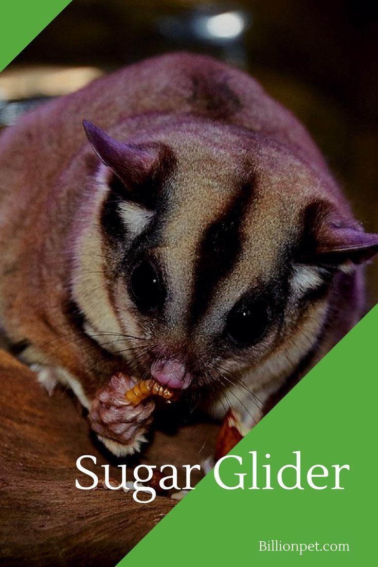 sugar glider #sugarglider