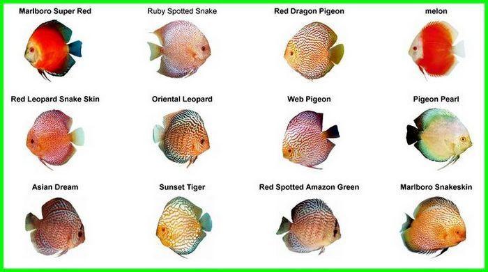 Panduan Lengkap Cara Merawat Ikan Discus Dunia Fauna Hewan Binatang Tumbuhan Hewan Binatang Gambar Hewan