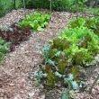 Grow Lettuce from Seed - Vegetable Gardener