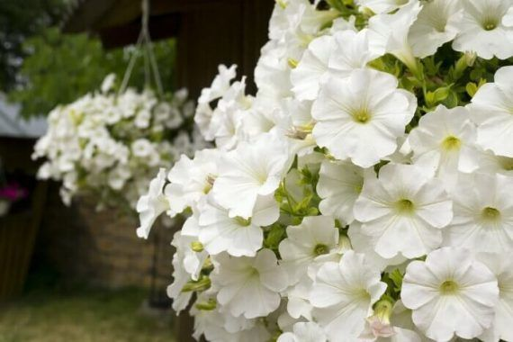 Petunia Meaning Types How To Grow 65 Photos In 2020 Petunias Container Flowers Flowers
