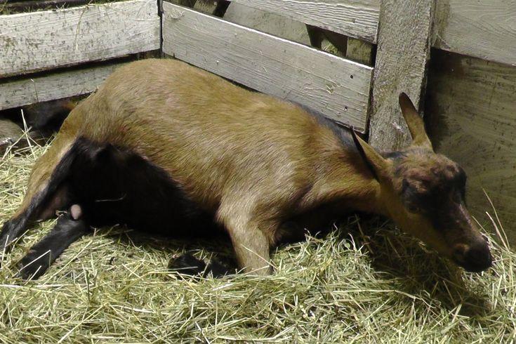Окоты коз / как появляются козлята - YouTube