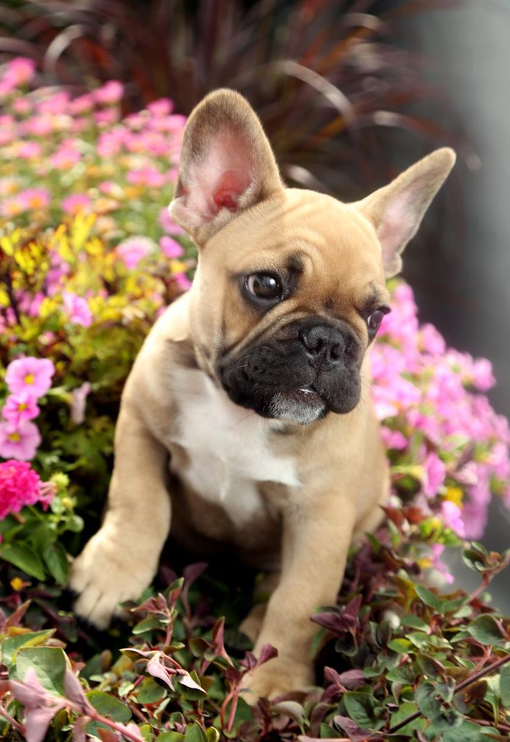 French bulldog - I want one