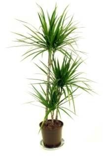 dragon tree dracaena care dracaena marginata tall house plants identify house plants - Flowering House Plants Identification