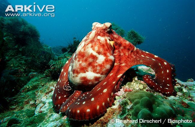 Common octopus resting on sea bottom