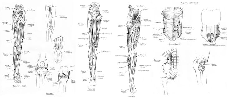 25 Best Muscle Blank Images Anatomy