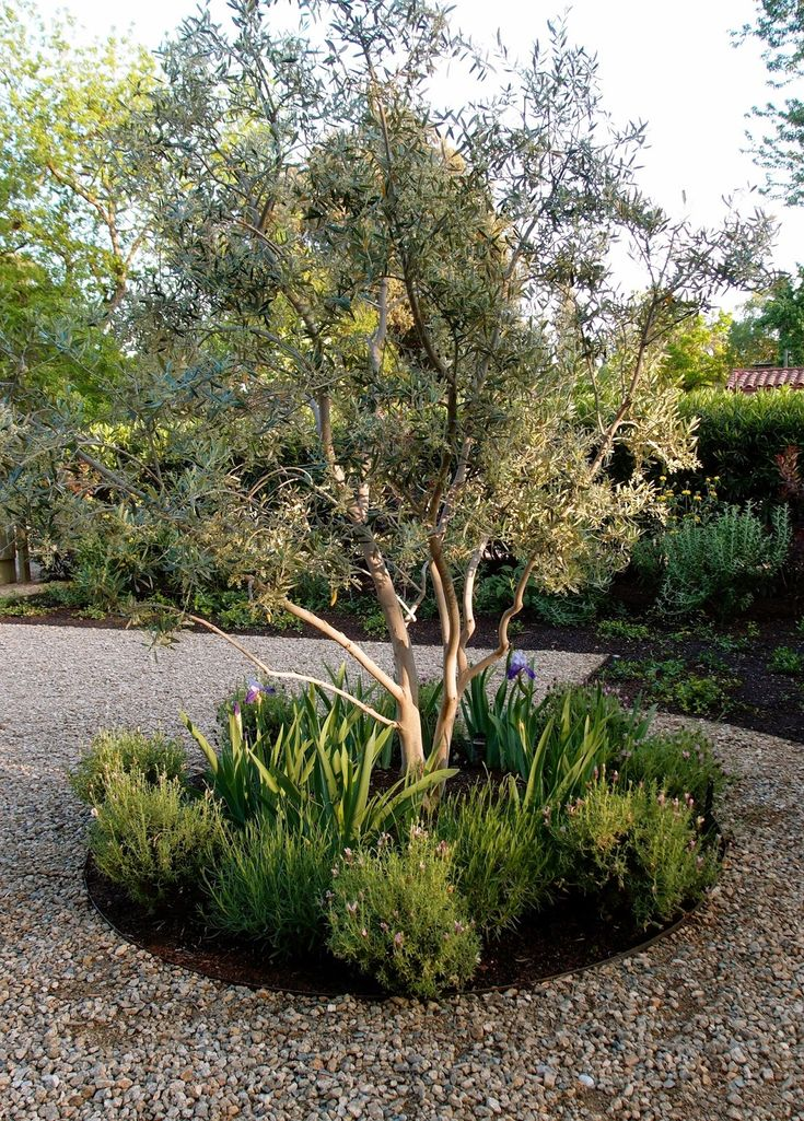 drought tolerant: iris (yes it is), olive tree, lavender