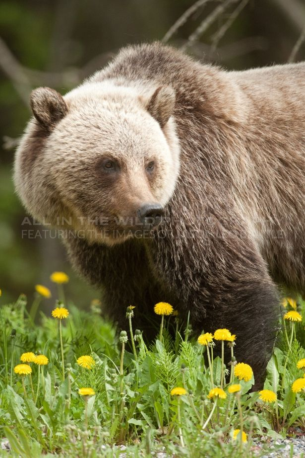 SILVERTIP Canadian Rockies  This big male grizzly seemed to like this field of dandelions and spent several days in the area. His colouring was beautiful and was accented by the lush green grass and yellow flowers. Despite his size he was not an aggressive individual and allowed me to spend quite a bit of time photographing him over several days.