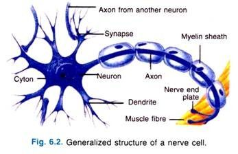 nerve cell function - Google Search