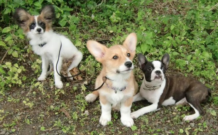 Corgi Terrier Mix Puppies and Boxer Pictures