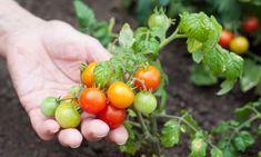 Cultivar tomates cherry en nuestro huerto urbano es muy sencillo, solo tenemos que seguir las indicaciones que os damos a continuación.