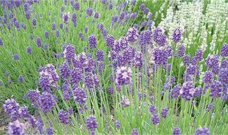 Buy Lavender Plants