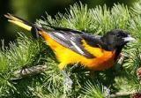 Baltimore Oriole: Baltimore Oriole - Male