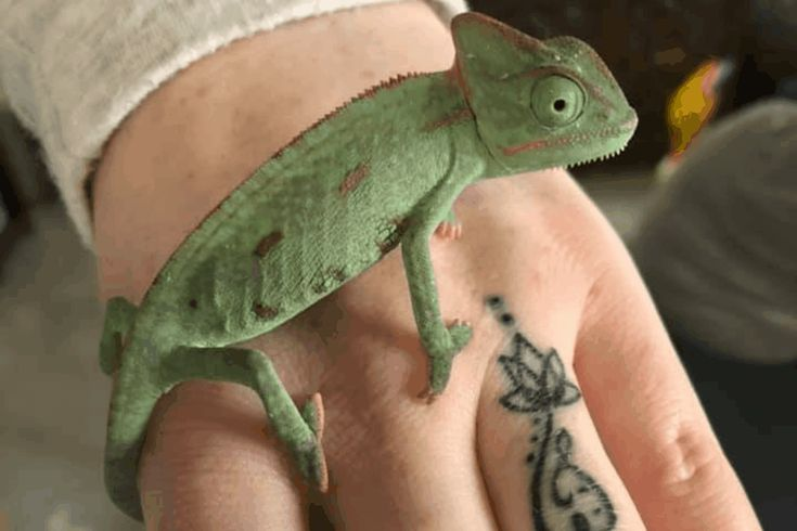 A List Of 100 Best Chameleon Names To Choose From For Your New Pet Chameleon Care Details Cool Pet Names Chameleon Chameleon Pet