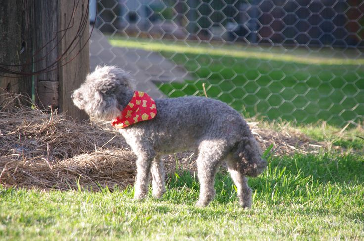 In the sun with his little red bandanna.
