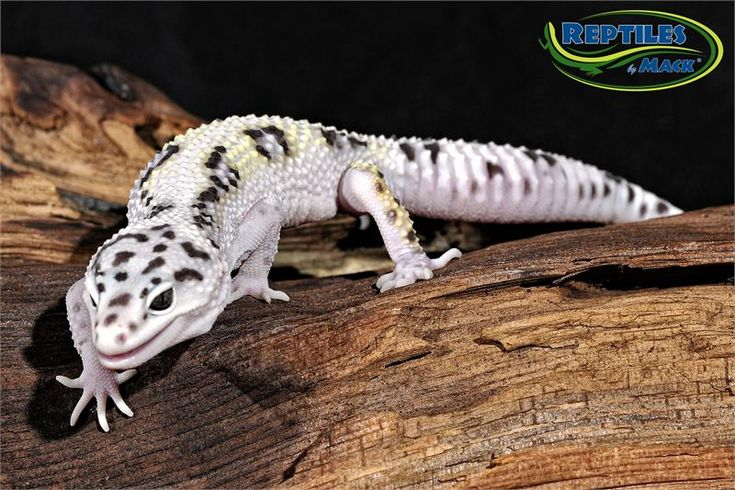 Reptiles by Mack - Mack Snow Leopard Gecko